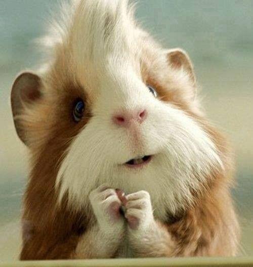 Hamster rigolo